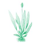 Immigrant Landscape ribgrass
